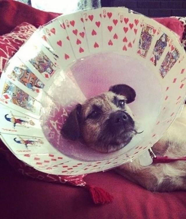perro cono pocquer