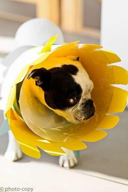 bulldog cono girasol