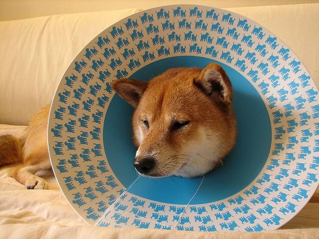 cono azul para perro