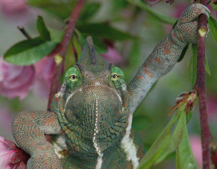 camaleon que parece estar sentado y enojado como un humano