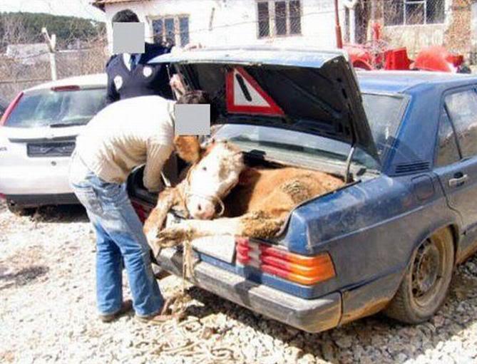 transportavaca en la cajuela de un carro a falta de camioneta