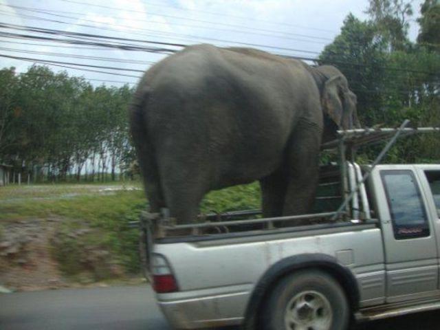 elefante en la parte trasera de una camioneta
