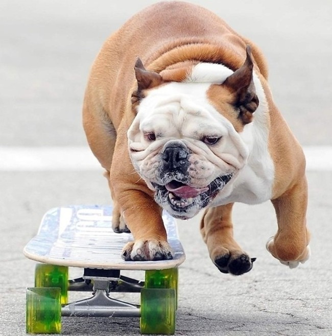bulldog en una patineta