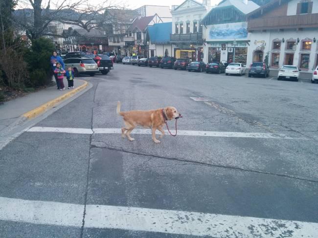 perro lleva la correa como si solo se paseara
