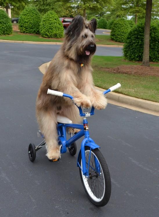 norman perro que sabe andar en bici