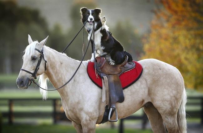 Collie montando a caballo