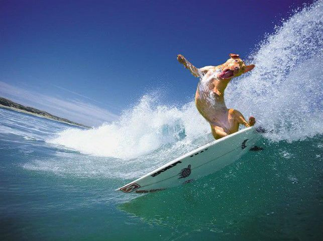 boxer surfeando