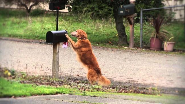 golden retriever  sacando el correo