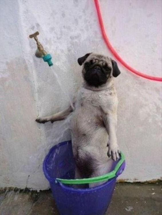 pug  bañandose en una tina al chorro de agua