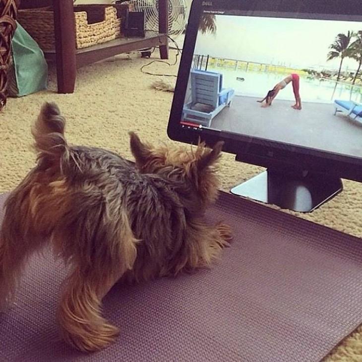 perro terrier escoces miniatura haciendo yoga