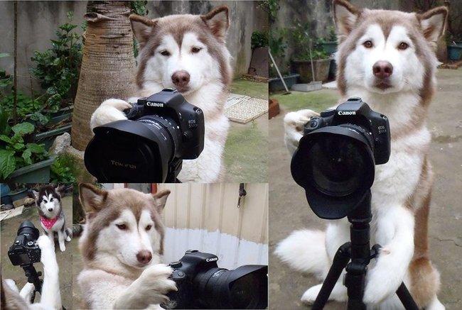 husky fotografo