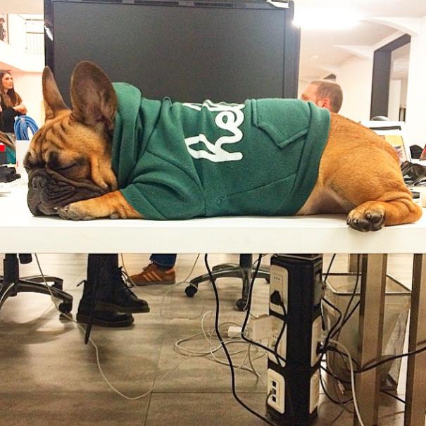bulldog frances con sudadera verde dormido sobre el escritorio