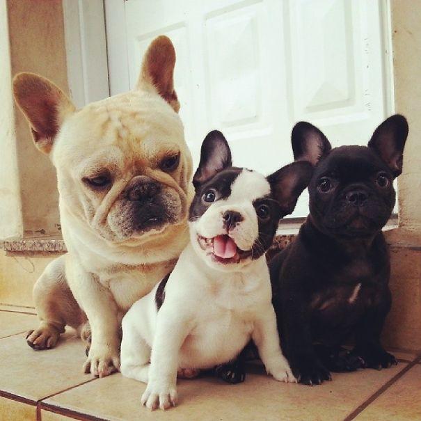 3 bulldogs sentados viendo a la camara