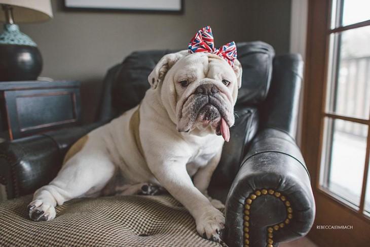 bulldog con su moñito de inglaterra sentada en el sillon