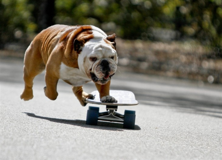 30 bulldogs mas bellos del mundo (3)