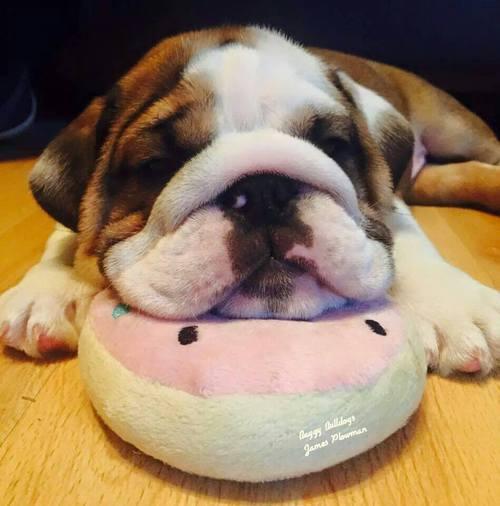 perro recargando su cabeza en la pantunfla
