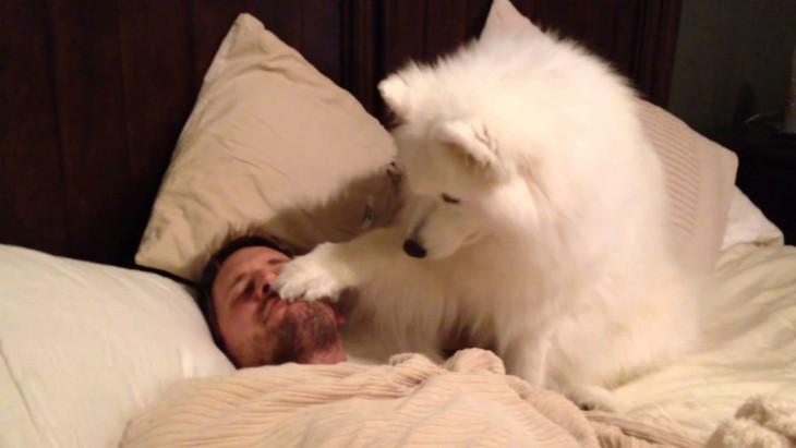 husky blanco despertando a su dueño con la patita en la cara