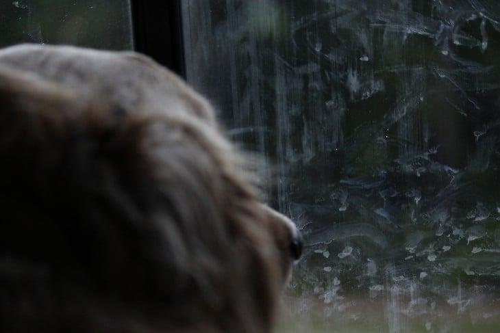 mocos del perro embarrados en la ventana y el viendo triste hacia afuera