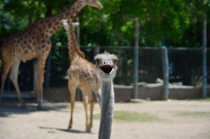 un emu y dos jirafas