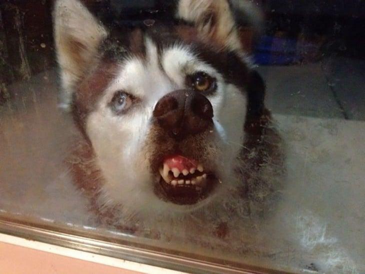 Perro husky lamiendo la ventana