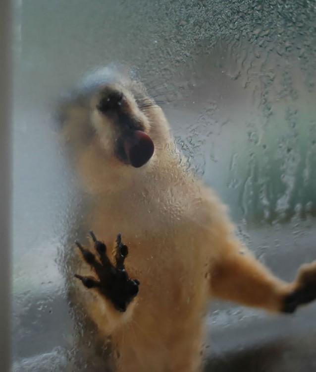 marmota lamiendo la ventana
