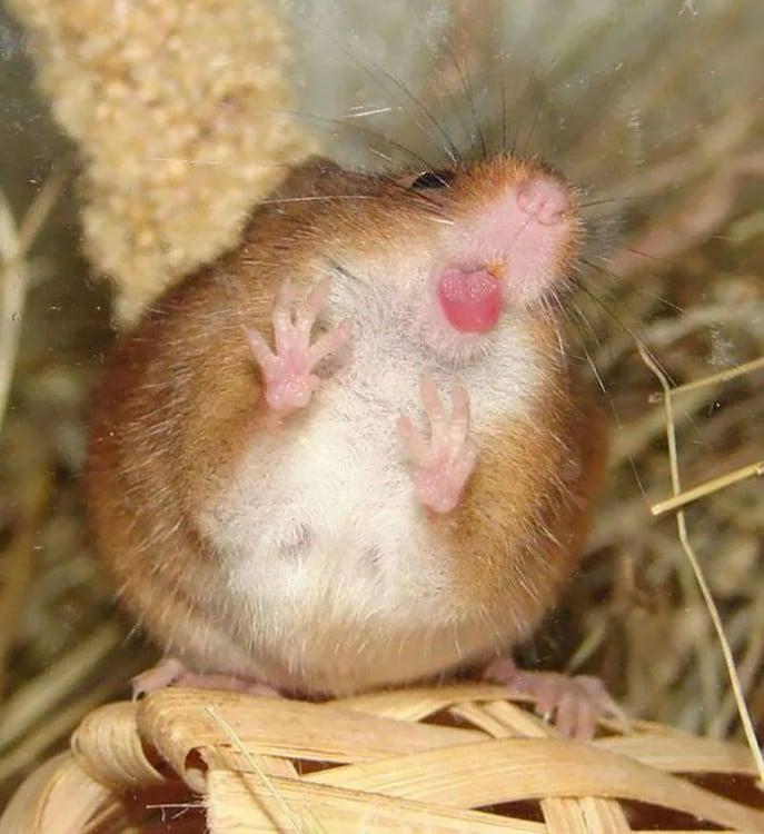 hamster lamiendo la ventana