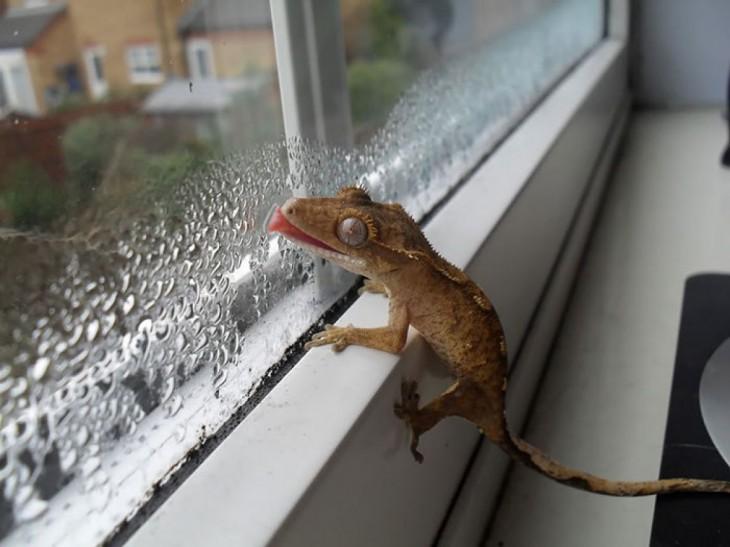 geko lamiendo la ventana