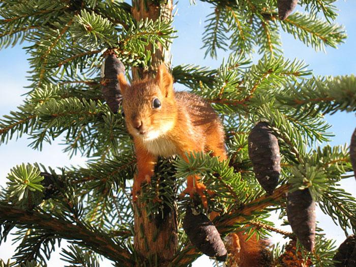 ardilla roja de finlandia  arriba de arbol de  navidad