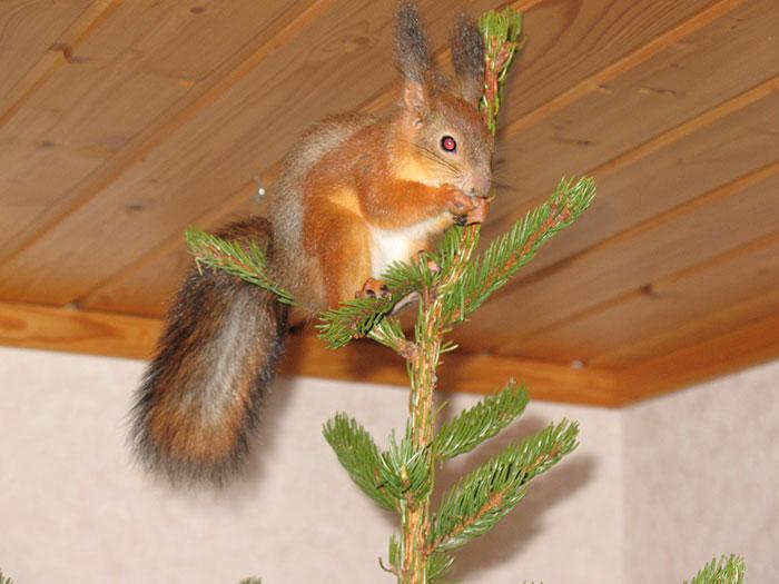 ardilla roja de finlandia arriba del pino