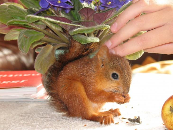 ardilla roja de finlandia  comiendo