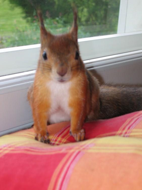 ardilla roja de finlandia  arriba de la cama