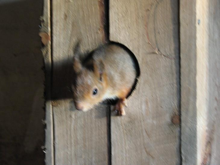 ardilla roja de finlandia saliendo de su casa