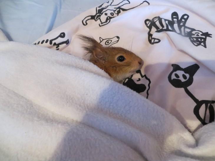 ardilla roja de finlandia en una cama