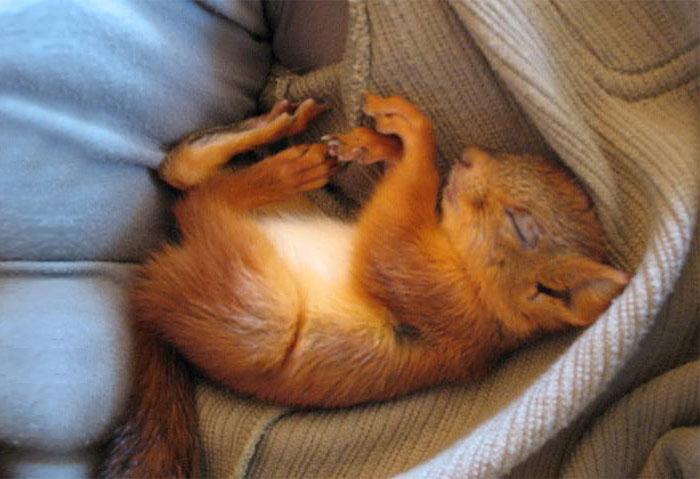 ardilla roja de finlandia durmiendo en cama