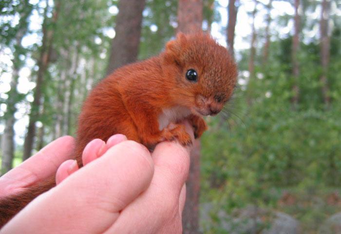 ardilla roja de finlandia en una mano