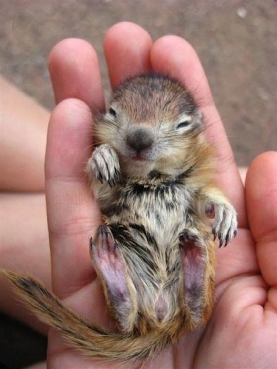 Bebé Chipmunk