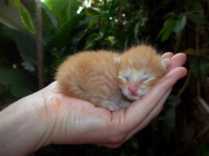 Bebé gato pardo