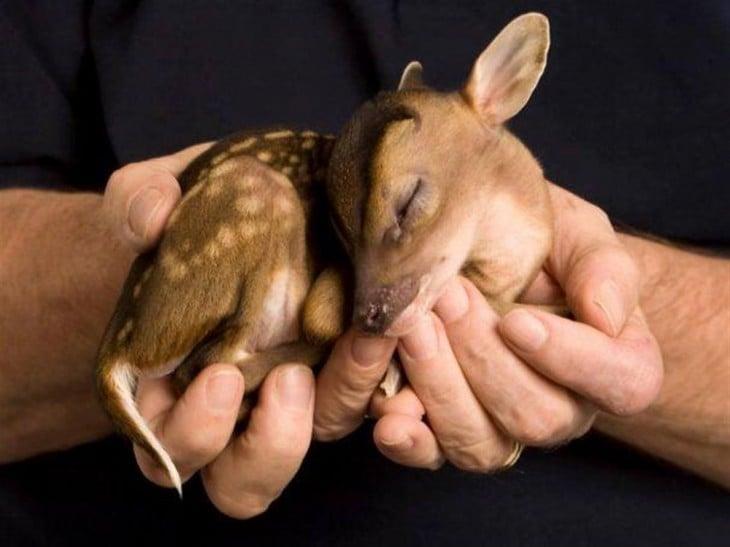 Bebé Ciervo en las manos de una persona