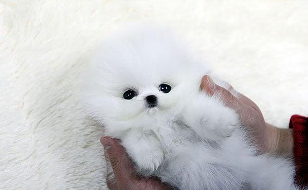 Cachorrito de raza pomeriana