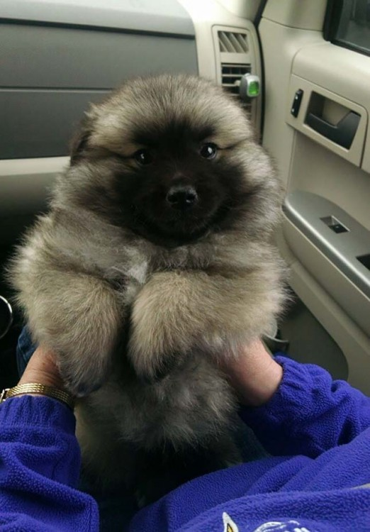 Cruza de un cachorro Keeshond y un eskimo americano