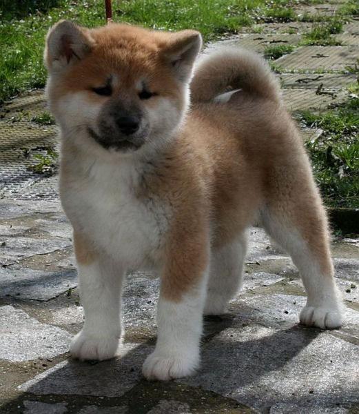 Cachorro de raza akita