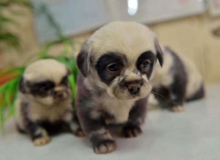 Cachorro que parecen osos panda