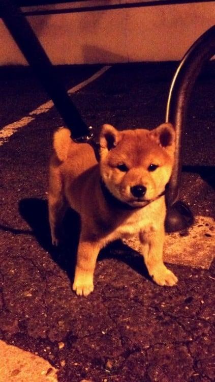 Cachorro The Shiba