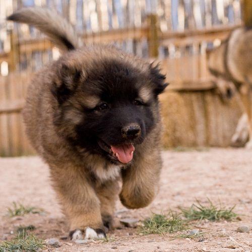Cachorro Sarplaninac