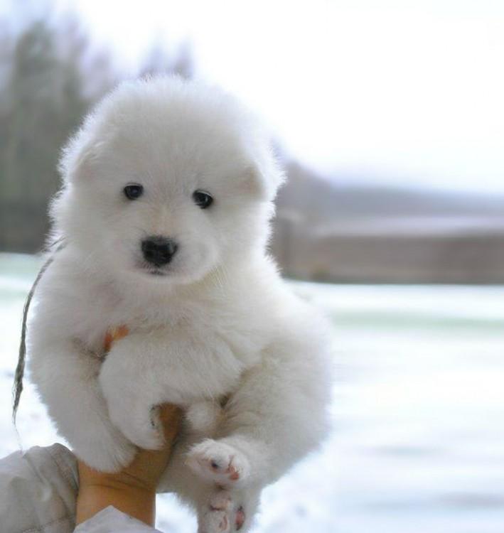 Cachorro de raza samoyed