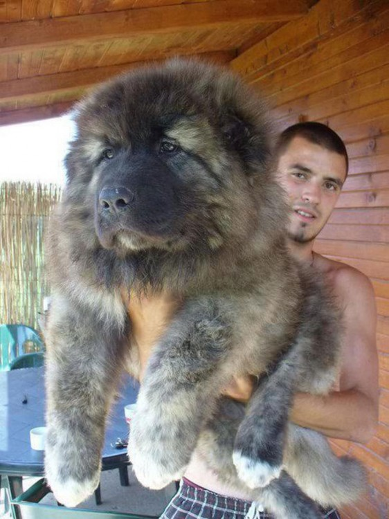 Cachorro de un pastor caucásico