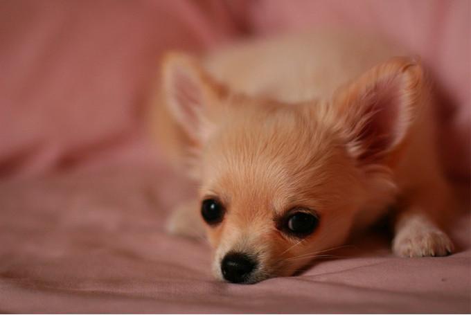 Cara de un perro chihuahua