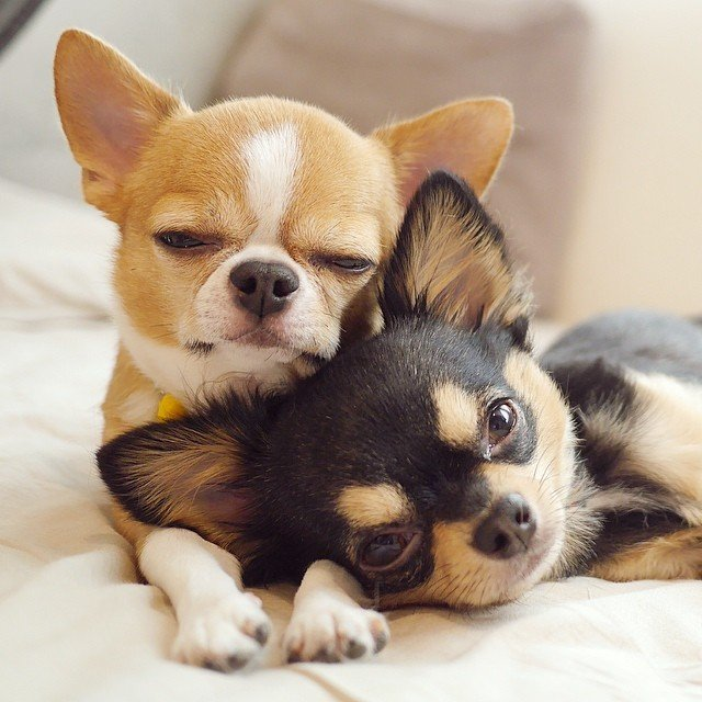 Dos perros chihuahua