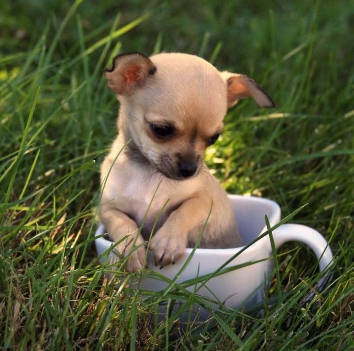 Perrito chihuahua en una taza