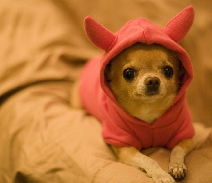 Perro chihuahua con suéter